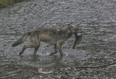 Proud Coastal Wolf with catch Stock Images