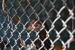 Proud cock. Rooster sitting in a cage but no lowers his head Royalty Free Stock Image