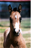 Proud Colt. Buckskin colt, registered American Paint Horse, photo taken on north Texas ranch Stock Photos