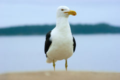 Proud cormorant. Stand on sand Stock Photos