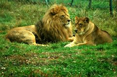 A proud couple. A pair of lions making a proud couple Royalty Free Stock Photos