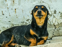 Proud Dachshund reluctantly poses for the camera Stock Photos