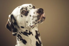 Proud dalmatian, portrait Royalty Free Stock Photo