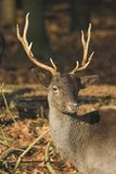 Proud Deer. A proud young male deer, spotted in the woods stock photos