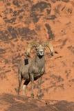 Proud Desert Bighorn Sheep Ram Royalty Free Stock Photography
