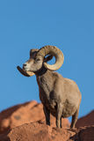 Proud Desert Bighorn Sheep Ram Royalty Free Stock Photos
