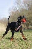 Proud Doberman puppy Stock Photos