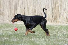 Proud Doberman puppy Stock Images
