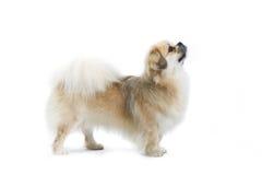 Proud dog Royalty Free Stock Photography