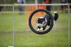 Proud dog - agility jump. Cute Border Collie in agility competition jumping through obstacle on stand Stock Photography