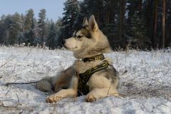 Proud dog breed Siberian Husky lying in the snow Royalty Free Stock Images