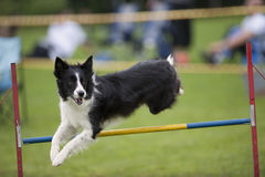 Proud dog jumping over agility hurdle Royalty Free Stock Image