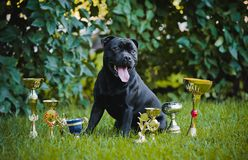 Proud dog Stafford Terrier with medals Royalty Free Stock Photo