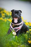 Proud dog Stafford Terrier with medals Royalty Free Stock Photography