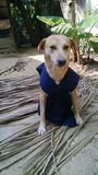 Proud dog wearing a jacket Royalty Free Stock Image