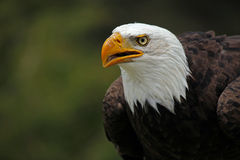 Proud Eagle Royalty Free Stock Photography