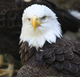 Proud Eagle Royalty Free Stock Photos