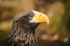 Proud eagle Stock Photo