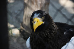 Proud Eagle royalty free stock images