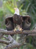 Eagle Wing Spread Stock Photography