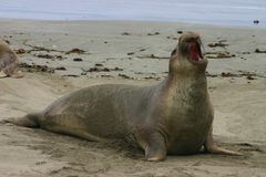 Proud Elephant Seal. A young Elephant Seal hauls out onto a beach Royalty Free Stock Photos