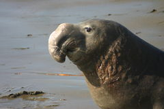 Proud Elephant Seal. A Male Elephant Seal on the beach in San Simeon, California Royalty Free Stock Image