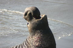 Proud Elephant Seal. A Male Elephant Seal on the beach in San Simeon, California Royalty Free Stock Images