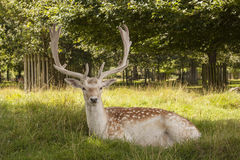 Proud Fallow Stag at Dunham Massey, Cheshire Royalty Free Stock Image