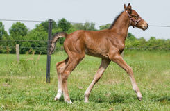 Proud foal Stock Images
