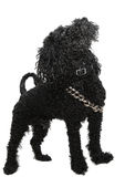 Black poodle dog Stock Photos