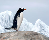 A proud Gentoo royalty free stock photo
