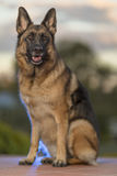 Proud German Shepherd Dog Stock Photo