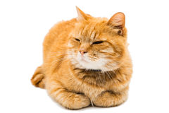 Proud ginger cat is lying Royalty Free Stock Photography
