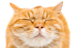 Proud ginger cat is lying Royalty Free Stock Images