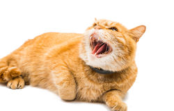 Proud ginger cat is lying Royalty Free Stock Photos