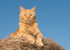 Proud ginger tabby cat surveying his domain from top of a hay bale Stock Photo