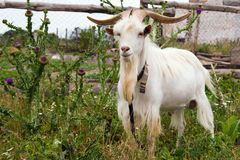 Proud he-goat. Royalty Free Stock Images