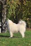 Proud And Gorgeous Samoyed Standing Stock Photo