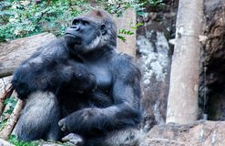 Proud Gorilla sits here and waiting for you royalty free stock images