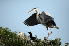 Proud Great Blue Heron royalty free stock images