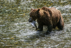 Proud grizzly. Closeup of a grizzly bear as he shows off his catch of fresh salmon in a creek in the Tongass national forest, Alaska Royalty Free Stock Photography