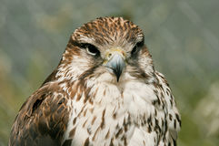 Proud hawk caught in cage. Royalty Free Stock Photos