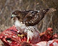 Proud Hawk Royalty Free Stock Photos