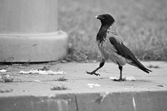 Proud hooded crow Stock Photo