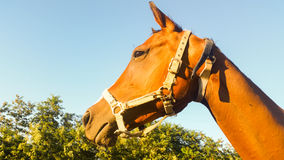 The proud horse accompanies the life of man for millennia Royalty Free Stock Photography