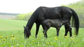 Proud horse foal stock video footage