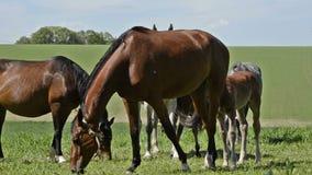 Proud horse foal stock video