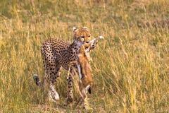 Proud hunter. Cheetah. Proud hunter. Cheetah brings Impala. Masai Mara, Kenya Royalty Free Stock Images
