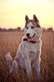 Proud Huskies. Sitting at sunset Stock Photo