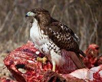 Proud Juvenile Hawk Royalty Free Stock Image